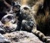 flugantamuso: (Andean Cat 2)
