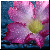 ahouseforrain: closeup of a pink flower covered with water drops (Default)
