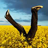 athousanderrors: A pair of legs in converse, sticking out of a field of yellow flowers, blue sky and clouds above. (kick up your heels in sunflowers)