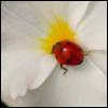 mylittleoutlaw: ladybird on white flower (default)