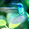 ariadnes_string: (hummingbird) (Default)