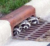 moniqueleigh: 3 raccoons peeking their heads out of a storm drain (Raccoons - Hi there)
