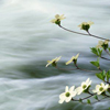 gandaki: daisies over running water (springtime)