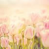 meitachi: (stock - tulips)