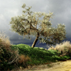 arliss: (olive tree)