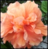 arliss: (apricot double hibiscus)