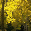 arliss: (gold lit trees)