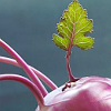 monksandbones: A photo of the top of a purple kohlrabi, with a backlit green leaf growing from it (veggie love now with more kohlrabi)