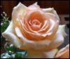arliss: (rose-my pic)