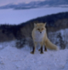monitorscreen: (winter fox)
