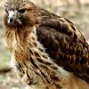 nothlit: (hawk  ➢ perched)