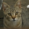 kyrielle: A tabby cat staring intently out at the viewer (curious)