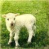 kyrielle: (sheep)