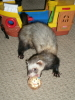 seorgia: (pets: Timon the Ferret)