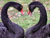 seorgia: (Emotion: Black Swan Heart)