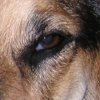 jesse_the_k: Macro photo of my Blue Heeler Lucy's deep brown left eye (expectant)