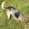 jesse_the_k: Lucy the ACD's butt & tail are all that's visible since her head is down a gopher hole (LUCY gopher hunter)