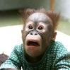 mrflagg: a surprised looking orangutan in a dress (my monkey)