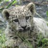 liveyourstory: (snow leopard)