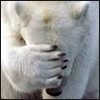 striped: Polar bear facepalming. (facepalm)