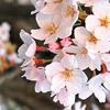 kleine_teekanne: (flowers: sakura blossoms)