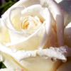kleine_teekanne: (flowers: white rose)