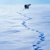 lexy: polarbear walking into the distance leaving footprints (polarbear: footsteps)