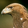 wandthief: (Golden eagle)