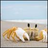 silverthorne: (Crab--Textless)