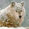 silverthorne: (Winter Wolf)