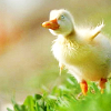 talitha78: (jillicons duckling on the wing)