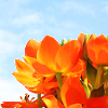 bossymarmalade: orange flowers blue sky (orange is the noo bloo)