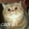 kyabetsu: Big-eyed kitty pleads for cookie. (Cookie)