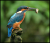 jamethiel: A kingfisher with a fish in its beak perches on a bare branch (KingfisherFish)