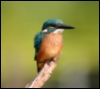 jamethiel: A kingfisher perches on a Bare branch (KingfisherPensive)