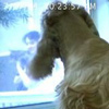 jamoche: my dog watching me through a window (dog jasmine)