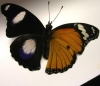 jame_alec: A gynandromorphic butterfly; male on one side, female on the other (Butterfly)