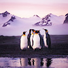 chrysalitron: (purple penguins)