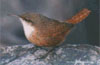 canyonwren: (bird) (Default)