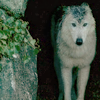 blacksquirrel: (Wolf)