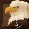 infiniteviking: A stern eagle staring at the camera. (5)