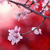 corknut: (stock] cherry blossoms) (Default)