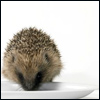 wildefae: hedgie! (hedge - sometimes i feel very small)