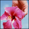 muteinglorious: Pink hibiscus in an enlightened hand. (don't tell the world our secret.)