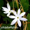 yasaman: picture of jasmine flower, with text yasaman (Default)