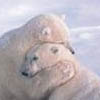 bradygirl_12: (polar bears (hugs))
