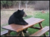 bradygirl_12: (bear (picnic table))