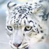 zhelana: (Original - Snowleopard)