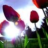 fantasmic: (tulips)