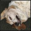 algeh: (dog, crazed look, basset hound, Annabelle)